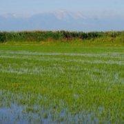 Άραγε, μετά την Γραβιέρα Πάρου Π.Ο.Π., το επόμενο αγροτικό προϊόν του νησιού μας θα είναι το ΡΥΖΙ